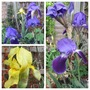 South East Facing Corner (Iris germanica (Orris))