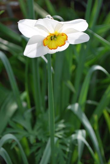 Narcissus (Narcissus poeticus (Poet's Daffodil) Recurvus.)
