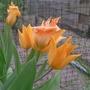 Tulipa praestans 'Shogun' - 2017 (Tulipa praestans)