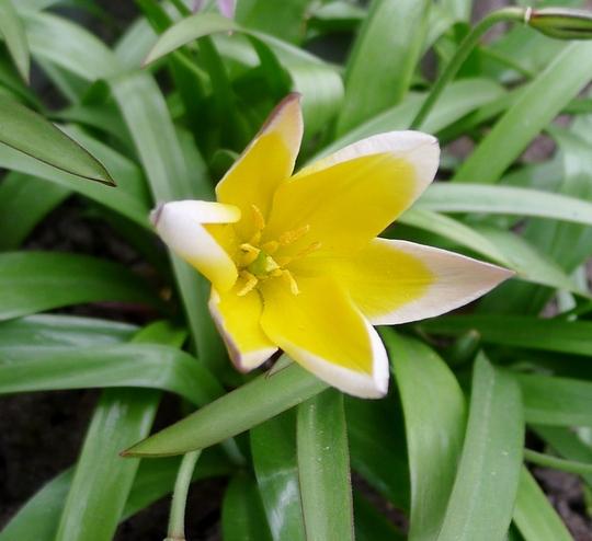 Tulipa tarda - 2017 (Tulipa tarda)