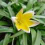 Tulipa_tarda_2017