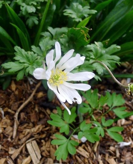 Anemone apennina albiflora - 2017 (Anemone apennina)