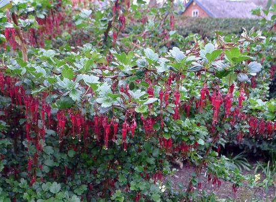 Ribes speciosum - 2017 (Ribes speciosum)