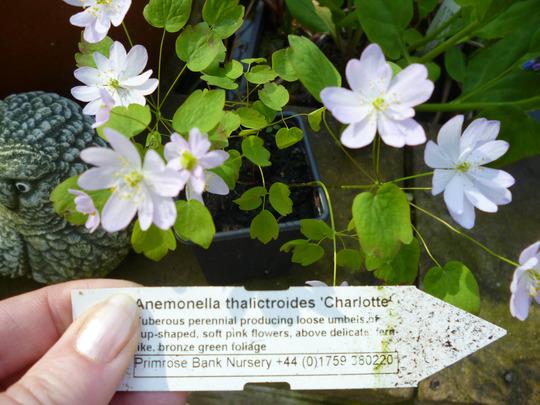 Anemollea thalictroides Charlotte (Anemonella thalictroides 'Charlotte')