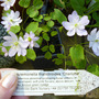 Anemonella_thalictroides_charlotte_