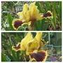 Jazzmatazz  (Iris pumila (Dwarf Flag))