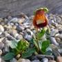 Calceolaria_walter_shrimpton_2017