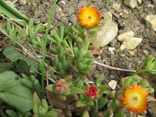 Delospermum dwarf succulent (Delospermum)