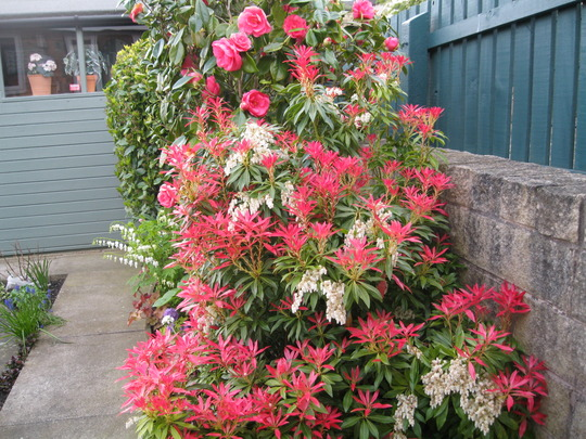 Camellia and Pieris 'Forest Flame'