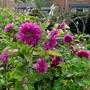 Rubus spectabilis 'Olympic Double' - 2017 (Rubus spectabilis 'Olympic Double')