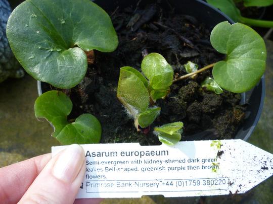 Asarum europaeum (Asarum europaeum)