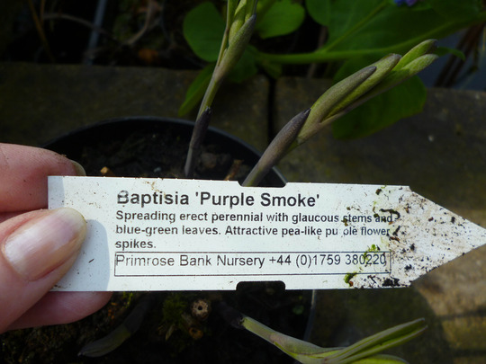 Baptisia australis (purple smoke] (Baptisia australis (purple smoke])