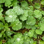 Dewdrops on Alchemilla mollis