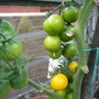 Golden Sunrise...Yellow tomatoes