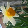 Narcissus Sempre Avanti