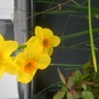 Narcissus Scarlet Gem