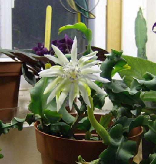 """Guatemalense """" monstrose """" Curly Leaf Orchid Cactus"""