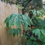Tetrapanax rex....... (Tetrapanax papyrifer (Rice paper plant))