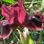 Dwarf Iris Cat's Eyes (for my file) (Iris pumila (Dwarf Flag))