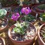 Androsace sarmentosa var.yunannensis (Androsace sarmentosa)