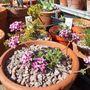 Daphne cneorum 'Benaco' (Daphne cneorum)