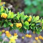 Berberis buxifolia 'Nana' (Berberis buxifolia)