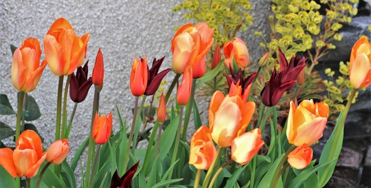 Tulips up close...Orange Emperor is the tallest one, The Red is 'Sarah Raven' and the small orange one is 'Ballerina'
