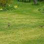 Two Mistle thrushes!
