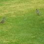 Same two Mistle thrushes