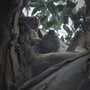 Baby Blackbird In My Euycaliptus Tree.