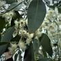 Euycaliptus Tree. (Euycaliptus tree.)