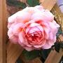 Rosa_a_shropshire_lad_28_10_14