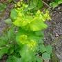 Smyrnium perfoliatum - 2017 (Smyrnium perfoliatum)