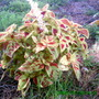 Another Variety of Coleus (Solenostemon scutellarioides (Coleus))