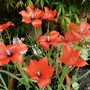 Tulip Linifolia. (Tulipa linifolia (Tulip))