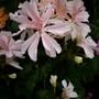 Geranium Honeywood Susan. (Geranium.)