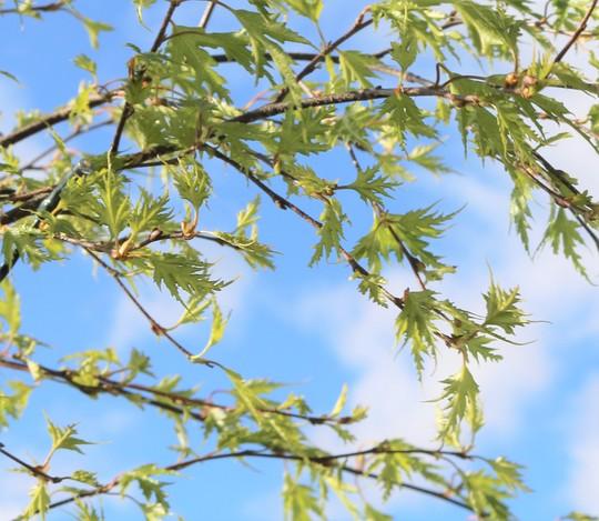 New Foliage on Swedish Birch (Betula pendula (Silver birch))