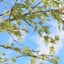 New Foliage on Swedish Birch (Betula pendula (Silver birch))