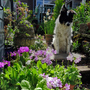 Bluey and the Sieboldii Primulas