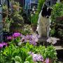 Bluey and the Sieboldii Primulas