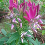 Cleome hassleriana - July 08 (Cleome hassleriana (Spider flower))