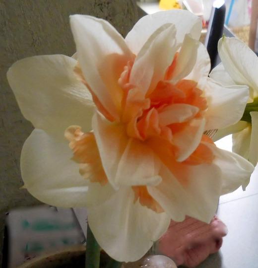 Daffodil Rose