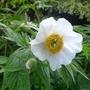 Paeonia emodi - 2017 (Paeonia emodi)