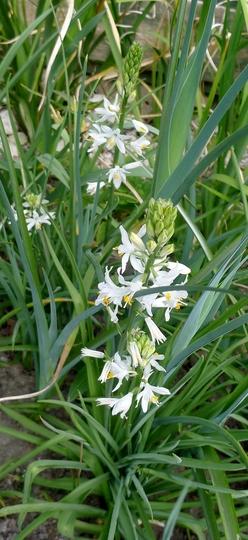Anthericum liliago - 2017 (Anthericum liliago)