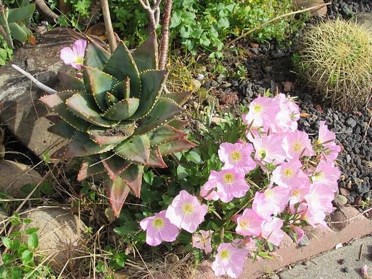 My Aloe (Oenothera speciosa (Flor de San Juan))