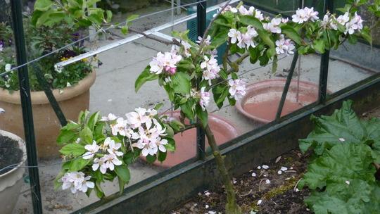 Small espalier Apple tree James Grieve.