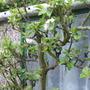 Howgate wonder blossom (espalier)