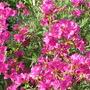 Azalea (Rhododendron (Azalea))
