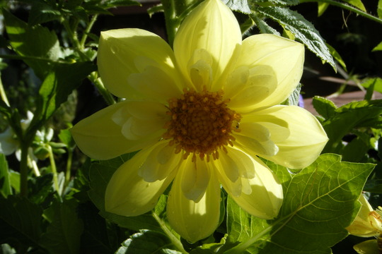 Sun on simple yellow (Dahlia Pinnata (Dahlia))