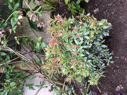 Pieris japonica 'Little Heath' (Pieris japonica 'Little Heath')